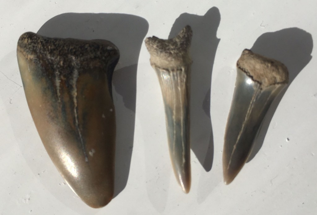 three fossil sharks teeth in a row
