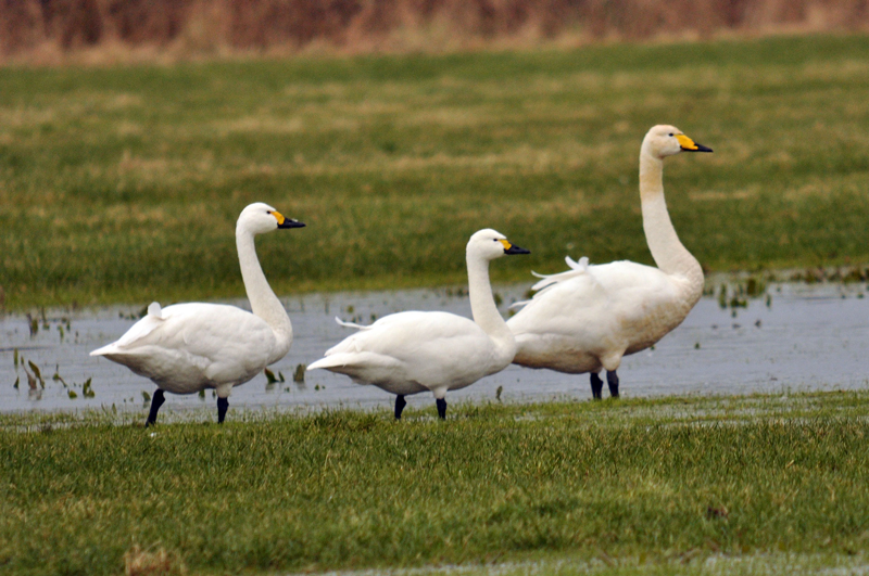 Three Bewick's Swans Paddling in the Marshes