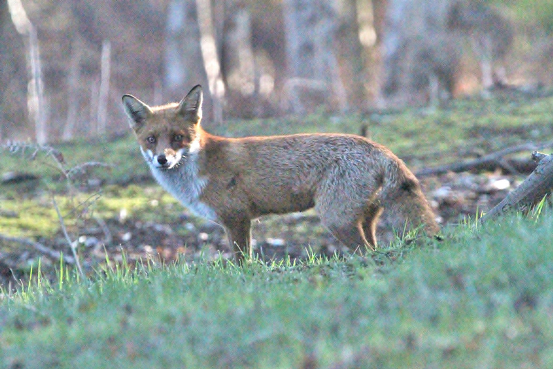 A fox on the prowl at RSPB Minsmere