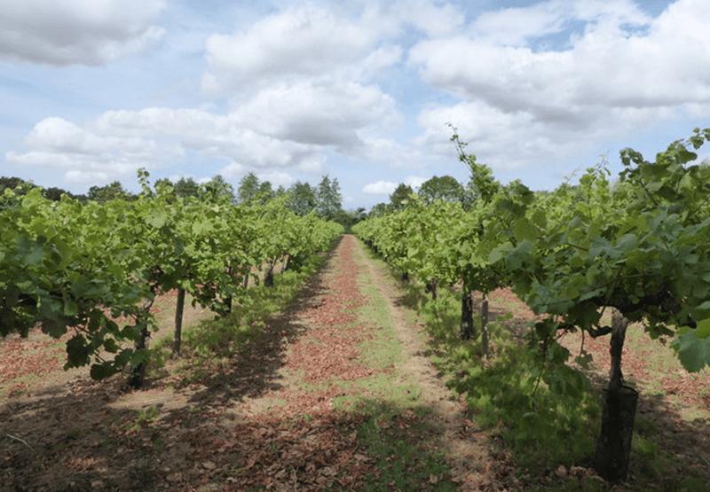Shawsgate Vines
