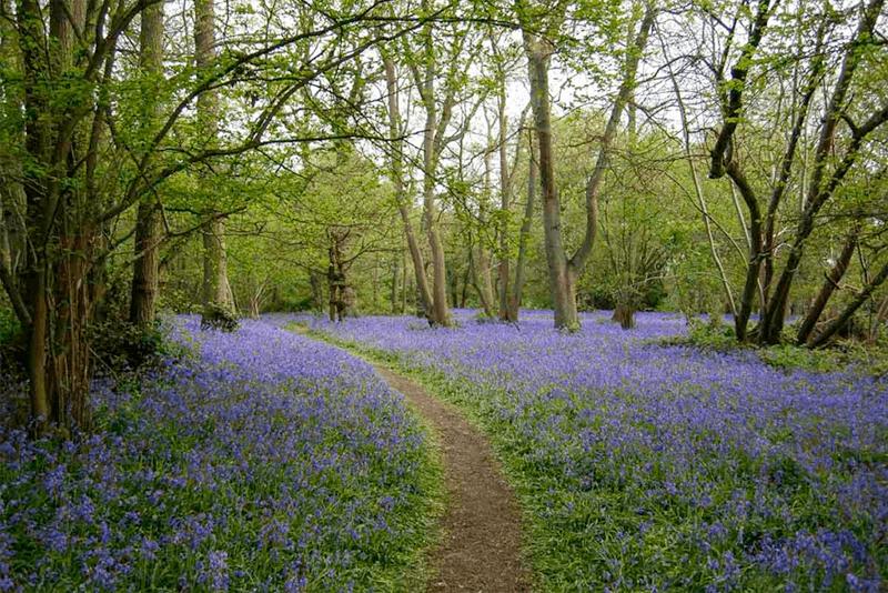 Bluebell Carpet Captain's Woods
