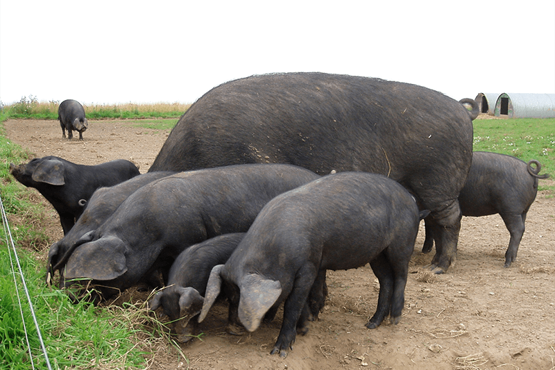 Rare large black pigs