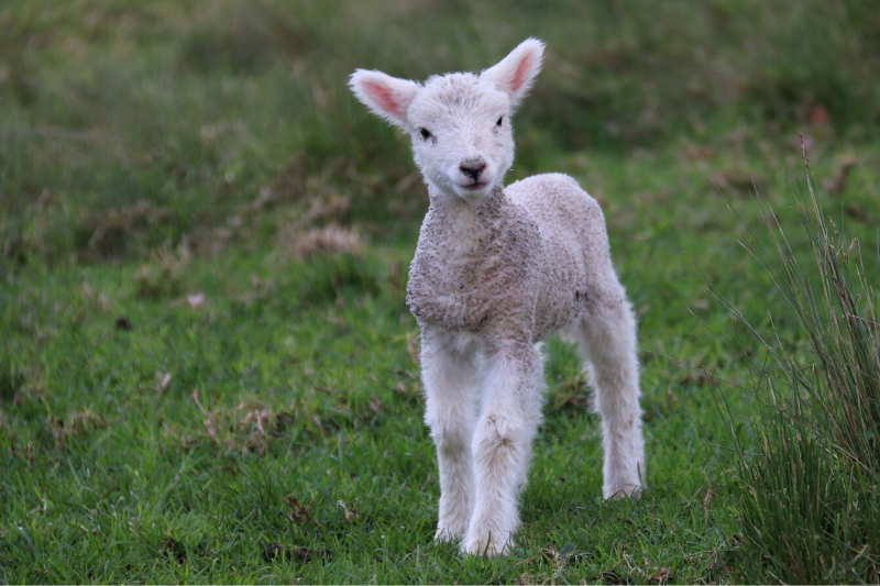 Baby lamb on the ghrass